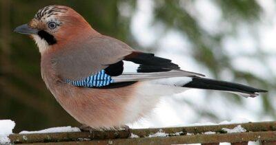 Pasknäär - Sinimustvalge sulestikuga tiival. Võhma Valgusevabrikul on see lind maalitud ka küünlale